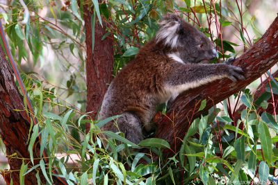 Koala in Yanchep National Park