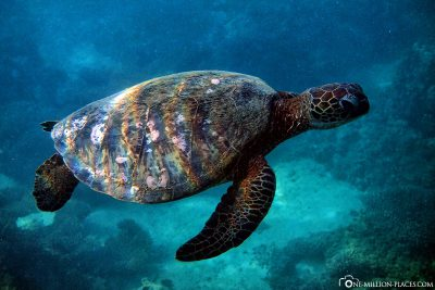 A turtle snorkeling