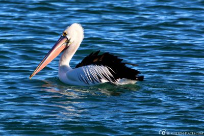 A pelican on the water