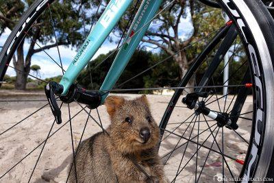 Ein Quokka an unserem Fahrrad