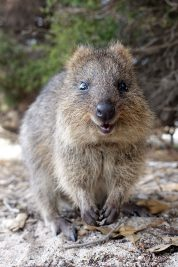 Is the quokka smiling?