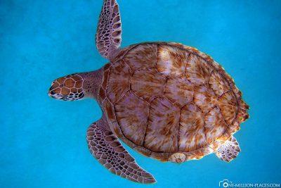 Schwimmen mit Schildkröten auf Barbados