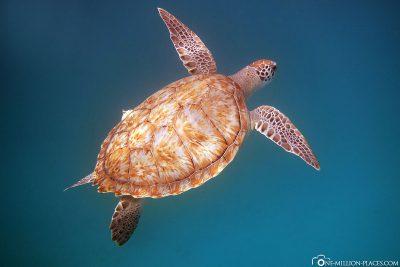 Die zutraulichen Schildkröten auf Barbados