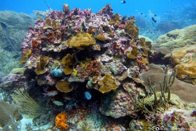 Corals in Barbados
