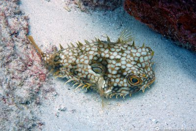 A hedgehog fish