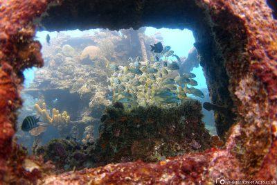 Fischschwärme beim Wracktauchen