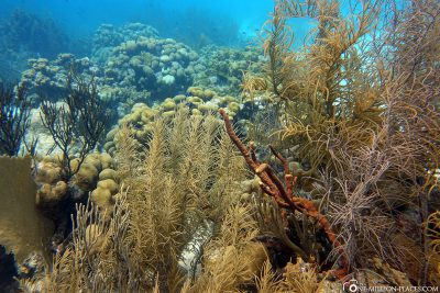 The corals in Bonaire