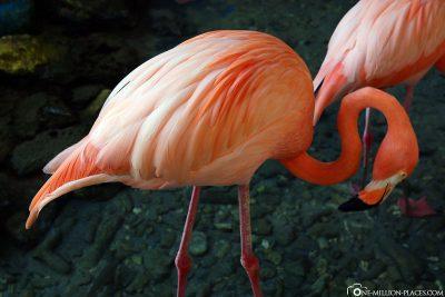 The flamingos in the aquarium