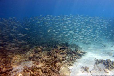 Larger schools of fish