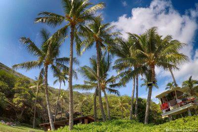 Palmen an der Hanauma Bay