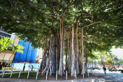 Banyan Tree at Kuhio Beach
