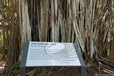 Information board about the Banyan Tree