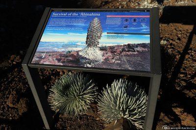 """Silberschwert Pflanze, hawaiianisch """"Ahinahina"""""""