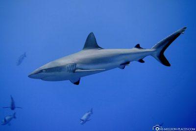 Ein Grauhai