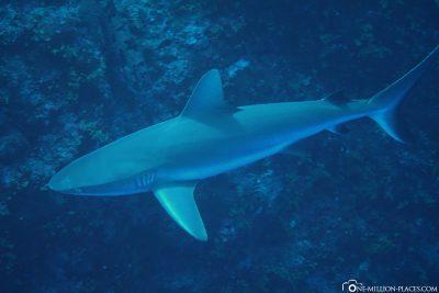 Tauchen mit Haien in Peleliu
