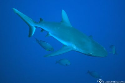 Diving with sharks in Peleliu