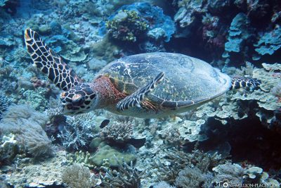 Eine Schildkröte in Peleliu