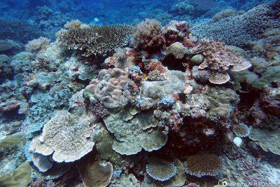 Die Korallen in Peleliu
