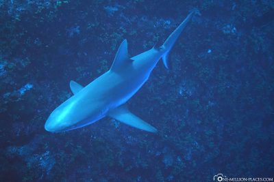 A shark in Peleliu