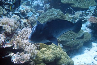 A buffalo-headed parrotfish