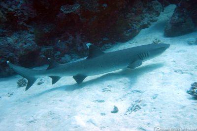 Ein Weißspitzenriffhai