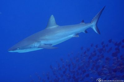 A shark on the Ulong Channel