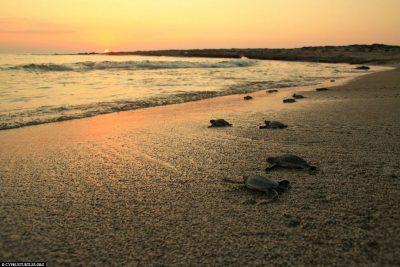 Alagadi Turtle Project