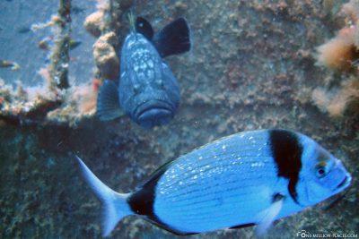 Die Unterwasserwelt am Wrack