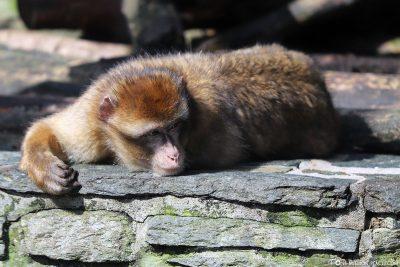 A Berber monkey