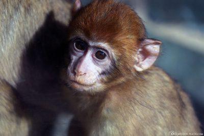 A little Berber monkey