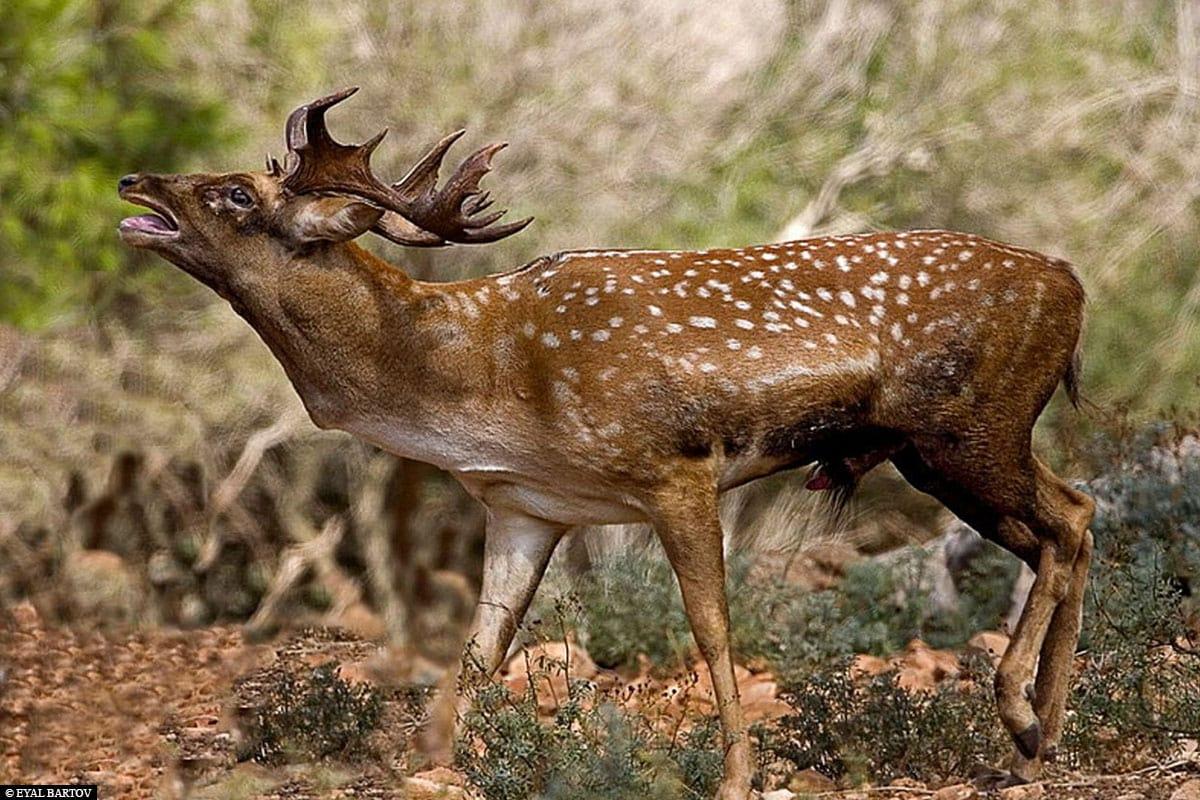 Ein Mesopotamischer Damhirsch, Opel Zoo, Kronberg, Hessen, Deutschland, Zoobesuch