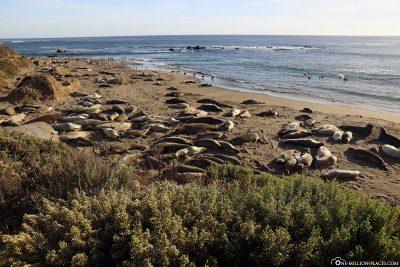 Der Elephant Seal Vista Point