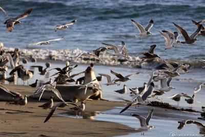 Viele Möwen und Pelikane am Strand