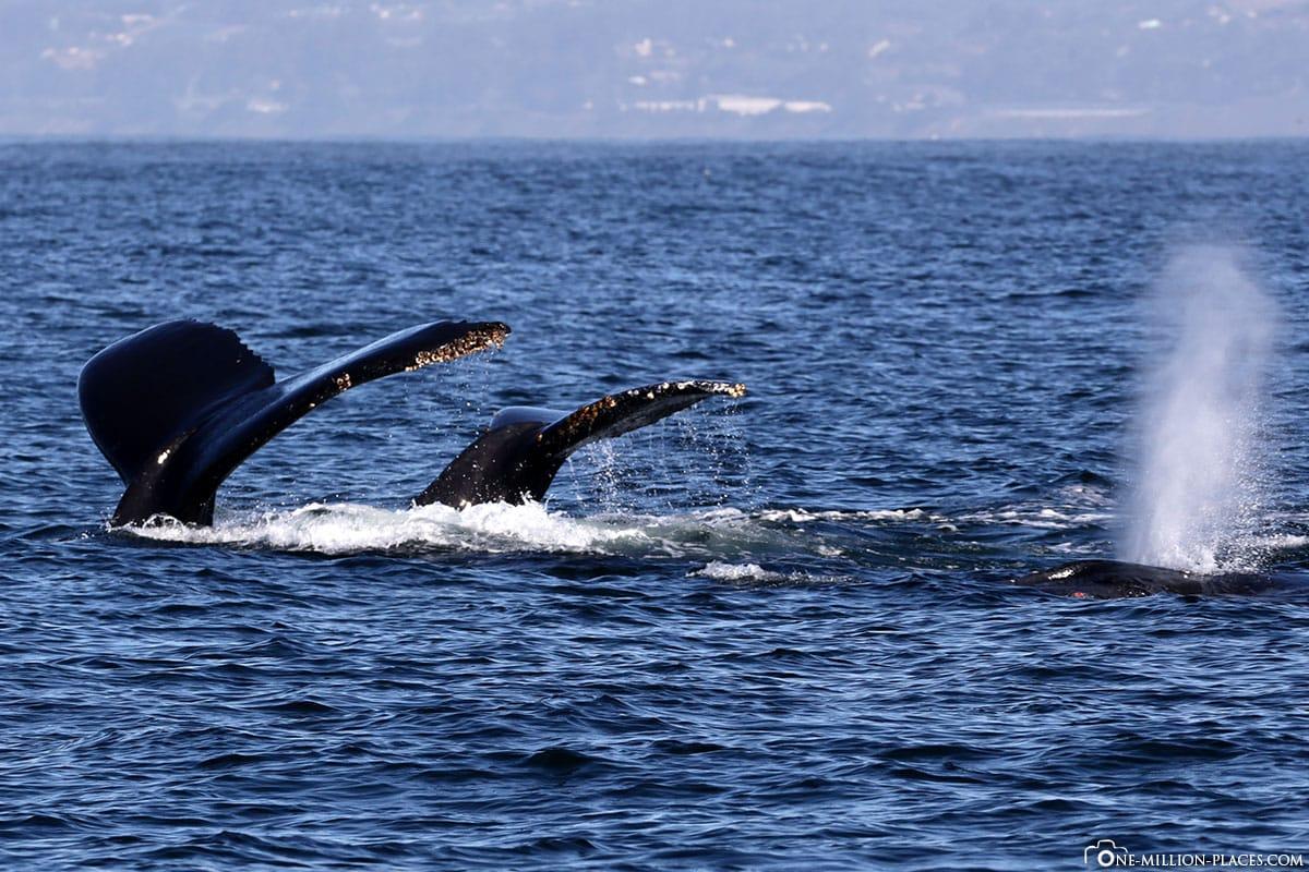 Humpback Whales, Monterey Bay, Whale Watching, Waltour, Whalt Watching, California, USA