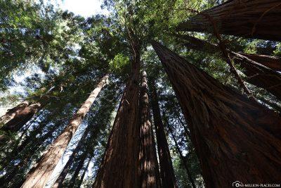 The coastal sequoias