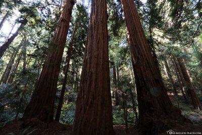 The coastal sequoias of Muir Woods