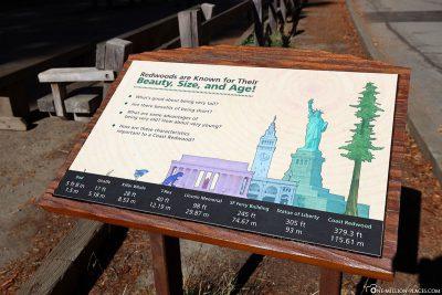 A size comparison of coastal sequoias