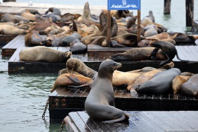 The sea lions at Pier 39