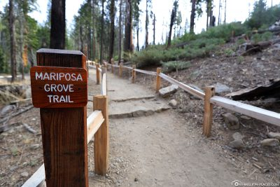 The Mariposa Grove Trail