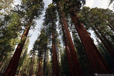 The giant sequoias in Mariposa Grove