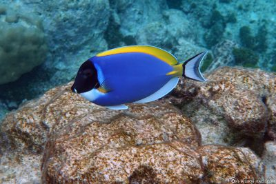 A White-throated Doctorfish