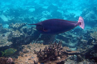 Ein Langnasen-Doktorfisch