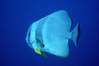 Ein neugieriger Fledermausfisch
