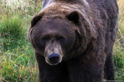 Ein Braunbär