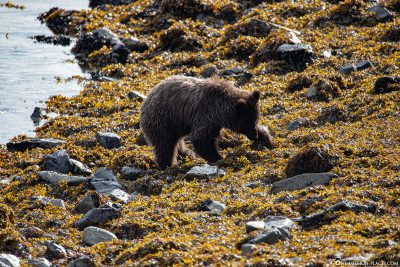 Bear in search of food on the shore