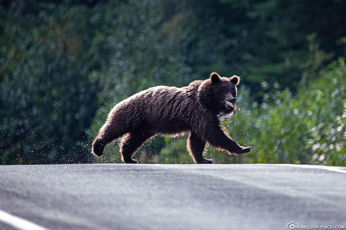 Bär mit Lachs, Rennt über die Straße, Alaska, Haines, USA, Reisebericht