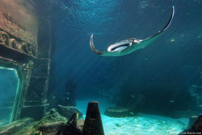 Manta at dig aquarium