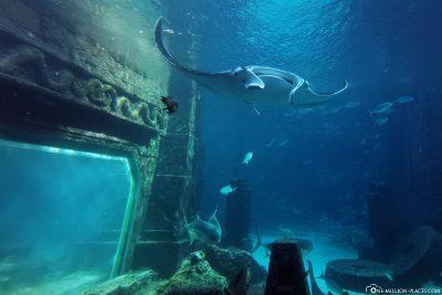 A large manta in the aquarium of the Hotel Atlantis