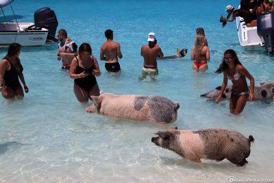 On the beach of Pig Beach