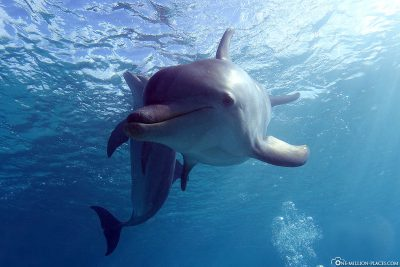 Dolphins diving in Curacao